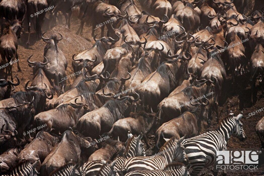 Stock Photo: Eastern White-bearded Wildebeest (Connochaetes taurinus) herd and Common or Plain's Zebra (Equus quagga burchellii) moving up the river bank.