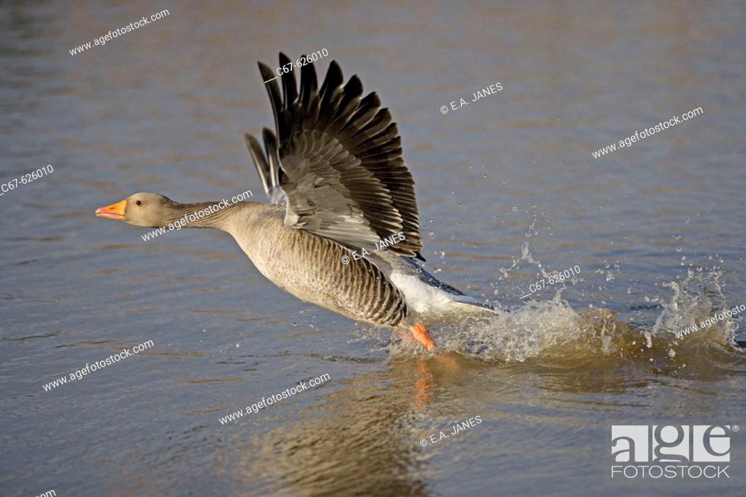 Stock Photo: Grey Lag Goose (Anser anser).