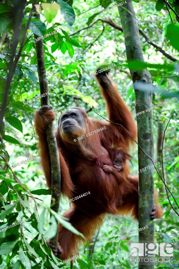 Stock Photo: Sumatran Orangutan (Pongo abelii) mother and nine month old baby climbing trees, Gunung Leuser National Park, north Sumatra, Indonesia.