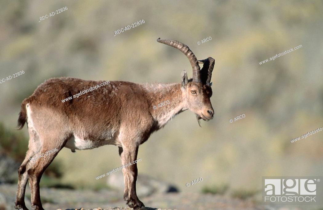 Stock Photo: Spanish Ibex male Sierra de Gredos Spain Capra pyrenaica victoriae side.