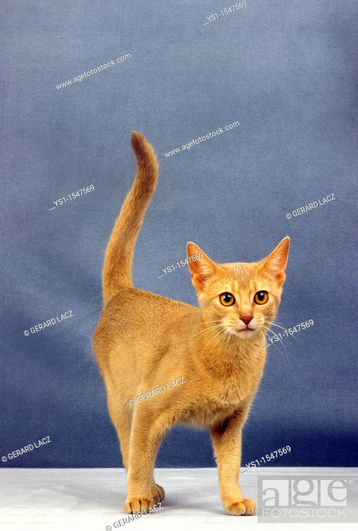 Stock Photo: Red Abyssinian Domestic Cat, Adult against Blue Background.