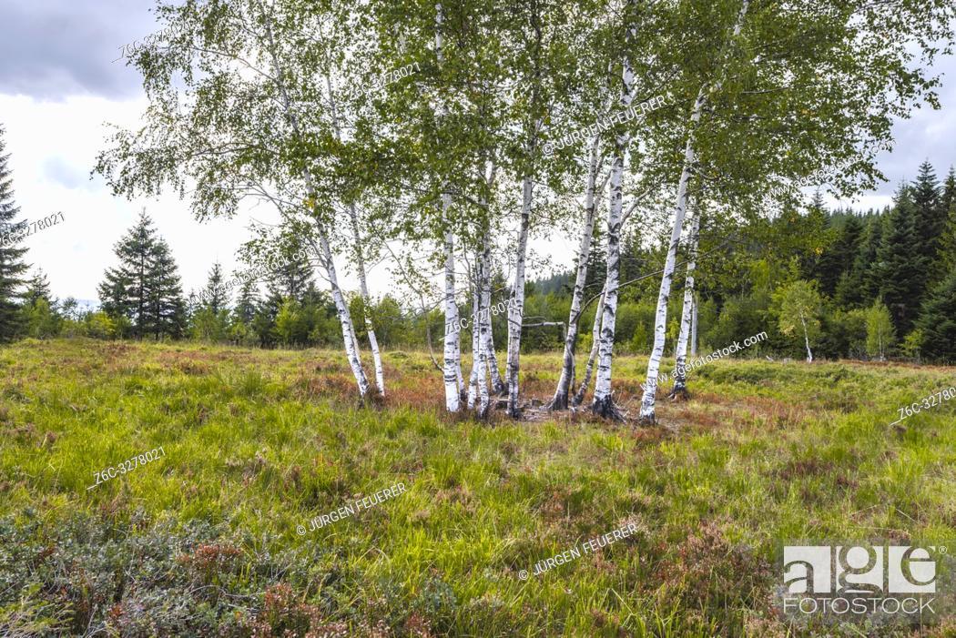 Imagen: group of birches in heather landscape, Black Forest, Germany, landform grinde between Schliffkopf and Zuflucht, community of Oppenau.