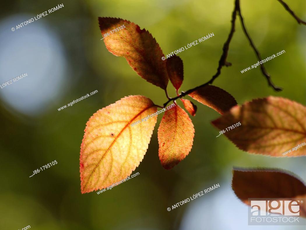 Stock Photo: Yellow leaves in garden tree  Cherry plum Prunus cerasifera.