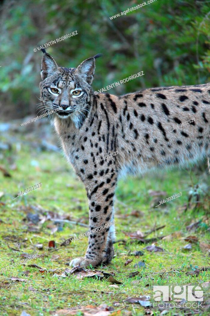 Imagen: Iberian lynx (Lynx pardinus) in Sierra Morena. Andalucía.