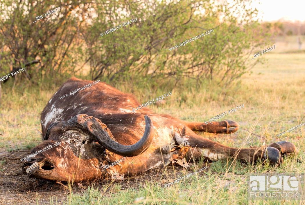 Stock Photo: Carcass of a Cape buffalo (Syncerus caffer), Mamili National Park, Caprivi Strip, Namibia, Africa.