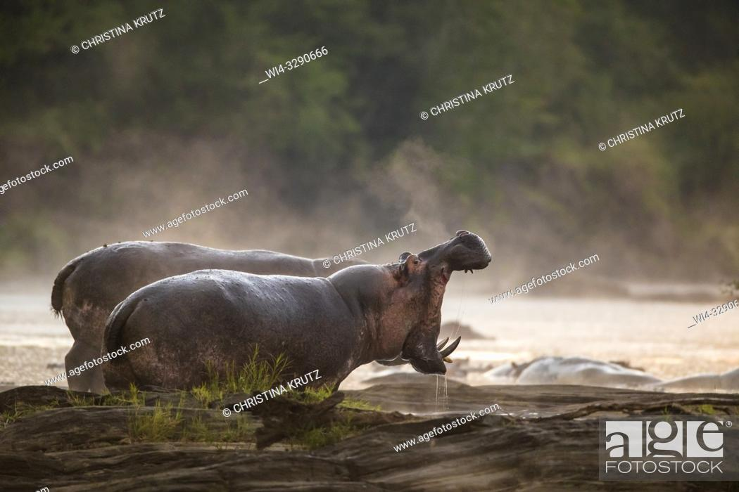 Stock Photo: Hippopotamus (Hippopotamus amphibus) standing on the edge of the Olare Orok River, Maasai Mara National Reserve, Kenya, Africa.