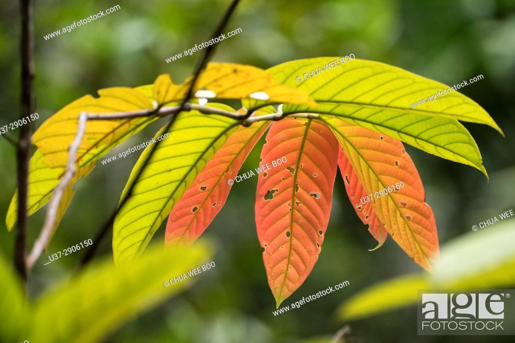 Stock Photo: Leaves. Semengoh Wildlife Centre, Kuching, Sarawak, Malaysia.