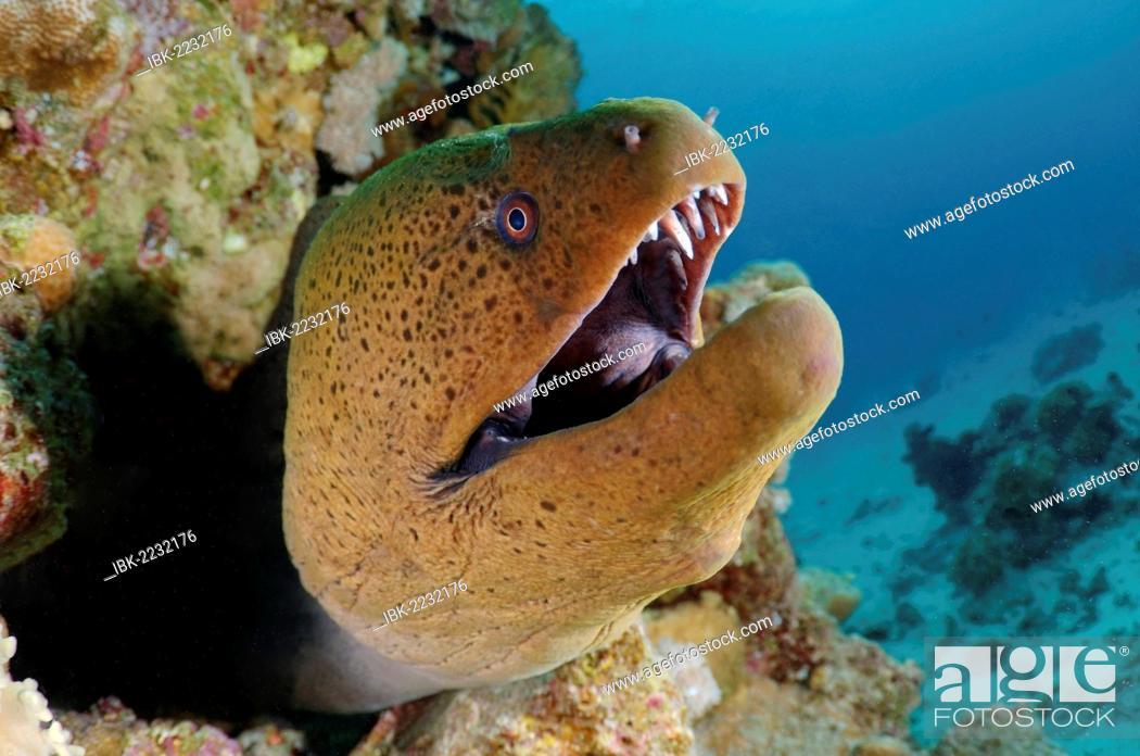 Stock Photo: Giant moray (Gymnothorax javanicus), Red Sea, Egypt, Africa.