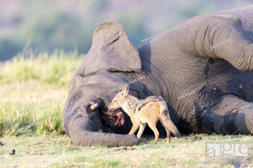 Stock Photo: Africa, Southern Africa, Bostwana, Chobe i National Park, Chobe river, African bush elephant or African savanna elephant (Loxodonta africana),.