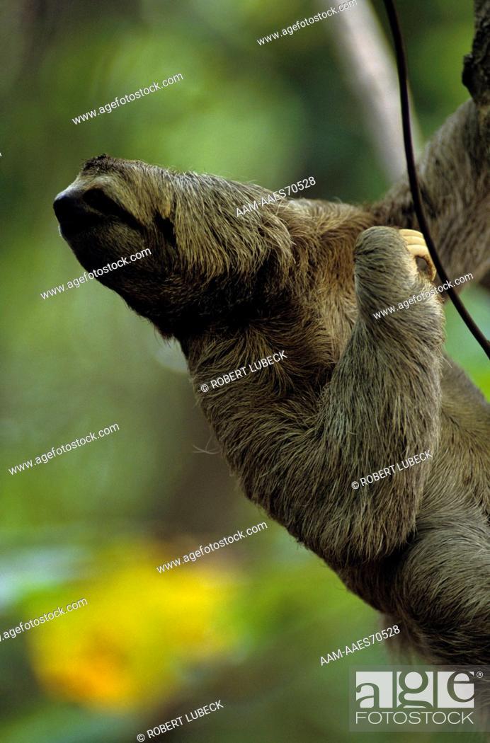 Three Toed Sloth Bradypus Variegatus Manuel Antonio Np Costa Rica