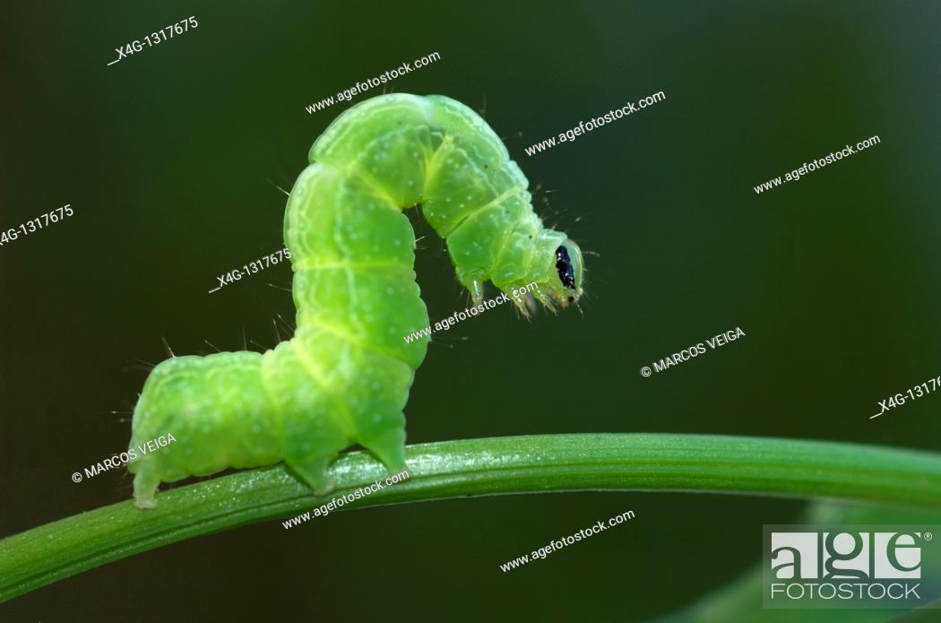 Stock Photo: Cabbage Moth caterpillar Autographa gamma.