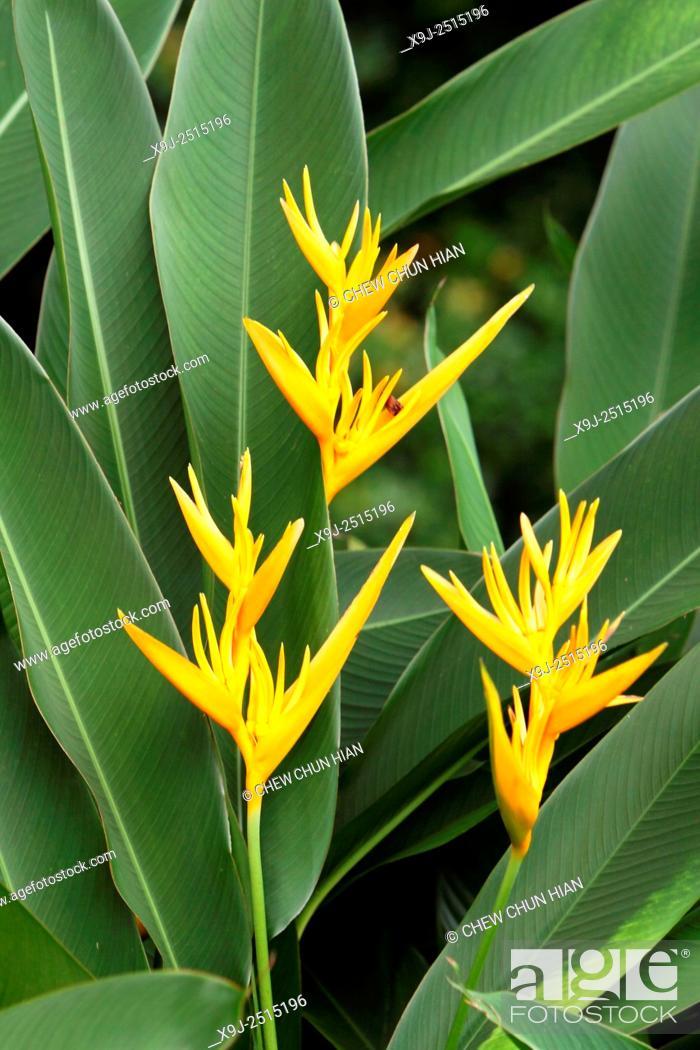 Stock Photo: Japanese Canna Heliconia Psittacorum, asia.