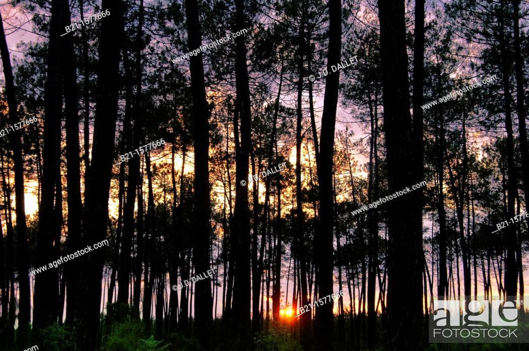 Stock Photo: Pilgrimage way to Santiago de Compostela: Landes forest at sunset, Aquitaine, France.