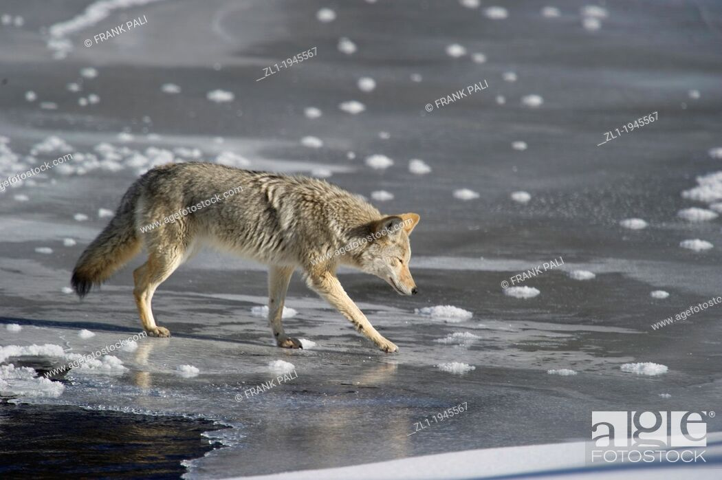 Stock Photo: Coyote Canis latrans being careful crossing the ice while hunting along roadside at Yellowstone National Park, Mammoth Hot Springs, Wyoming, USA.