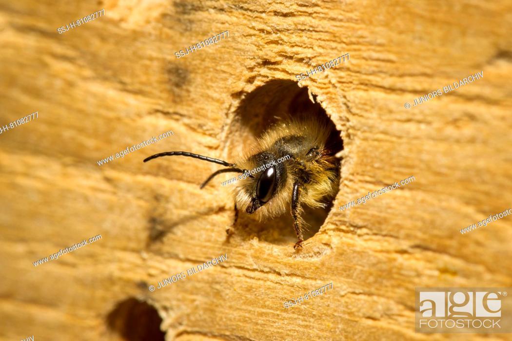Stock Photo: Red Mason Bee (Osmia bicornis, Osmia rufa). Male in an insect hotel. Germany.