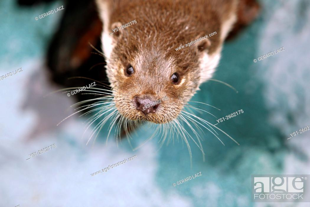 Stock Photo: European Otter, lutra lutra, Portrait of Adult, Pyrennees in the South of France.