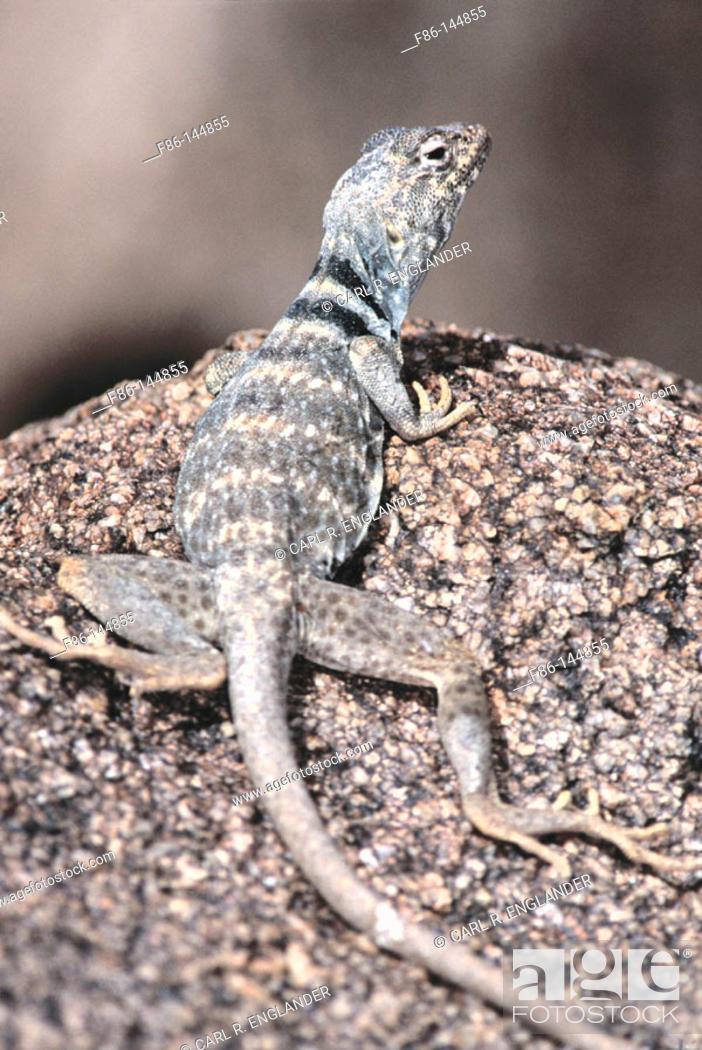 Stock Photo: Deser Collared Lizard (Crotaphytus insularis). Joshua Tree NP. California. USA.