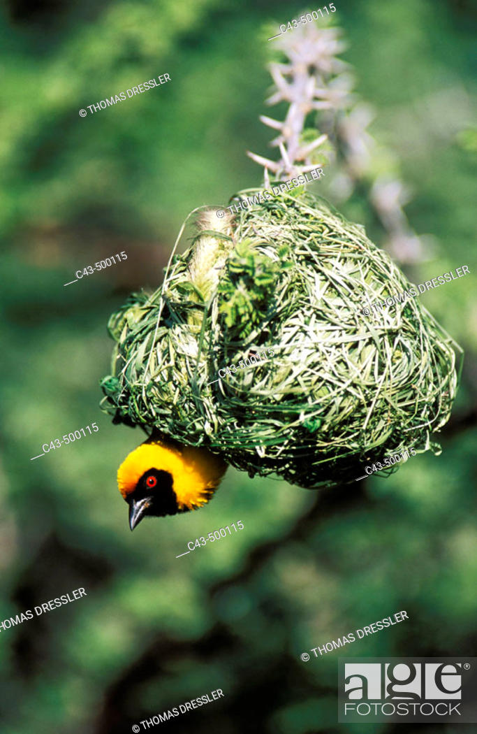 Stock Photo: Masked Weaver (Ploceus velatus); the male has finished with building the nest and now tries to attract a female. Only breeding males develop the black mask and.