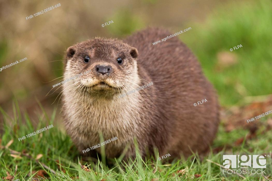 Stock Photo: European Otter Lutra lutra adult, sitting on grass bank, England, march captive.
