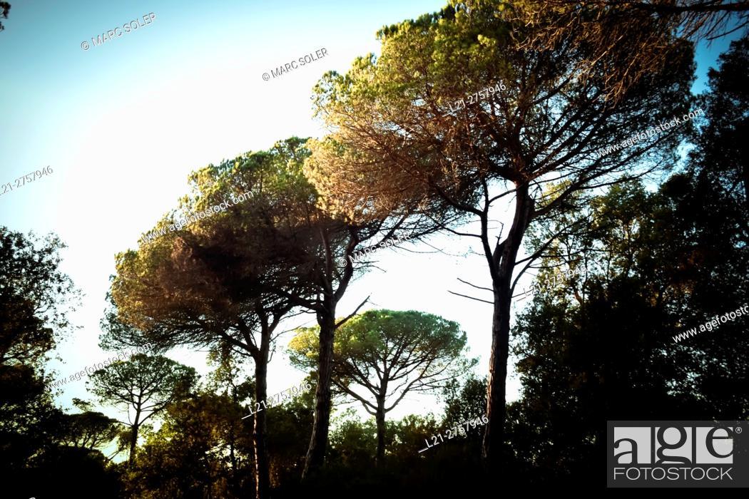 Stock Photo: Pine trees. Barcelona province, Catalonia, Spain.
