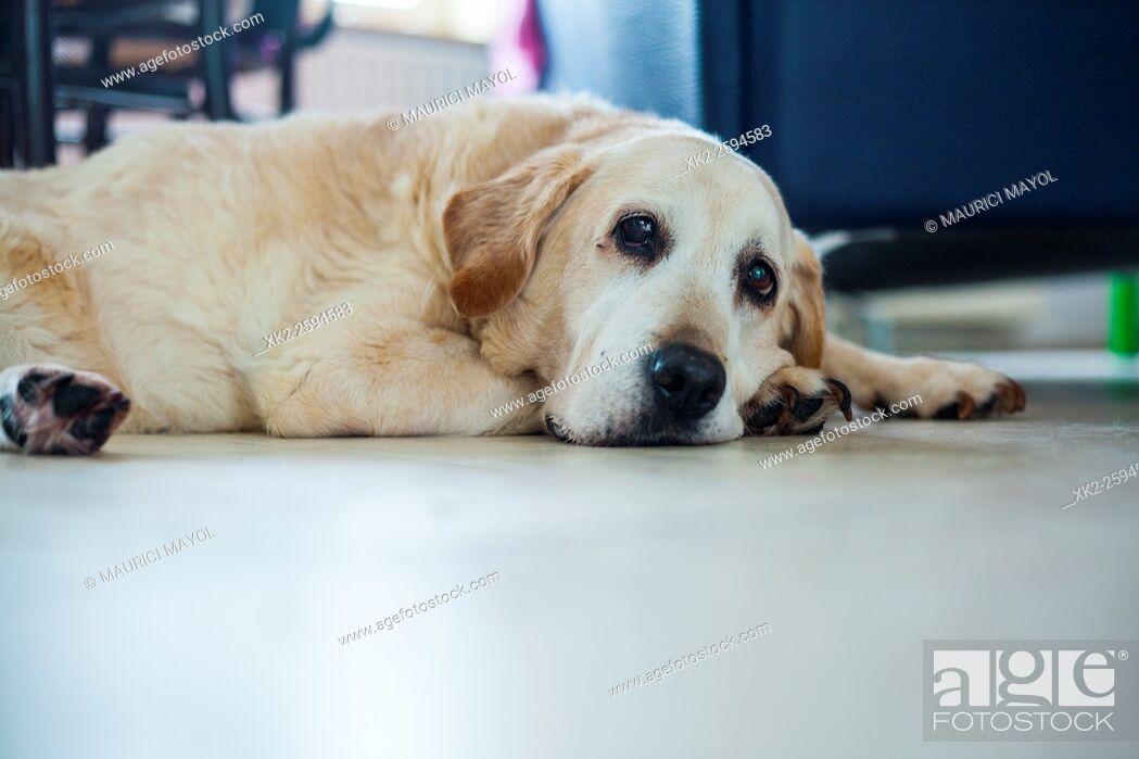 Stock Photo: Ancient Golden labrador sitting on the floor.