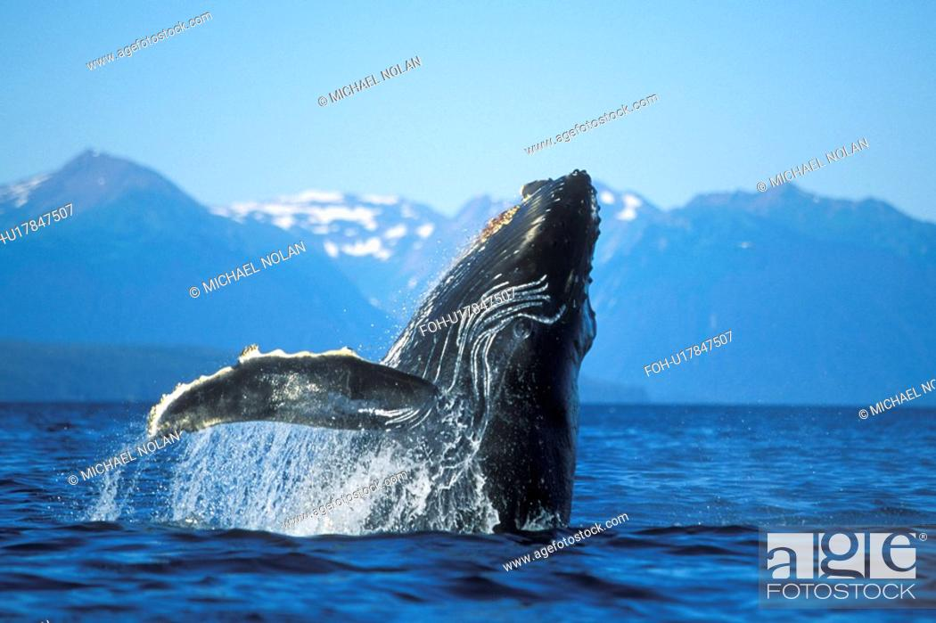 Stock Photo: Humpback Whale calf Megaptera novaeangliae breaching in Icy Strait, Southeast Alaska, USA. Pacific Ocean.