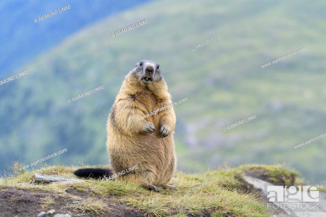 Stock Photo: Alpine Marmot, Marmota marmota, Hohe Tauern National park, Austria.