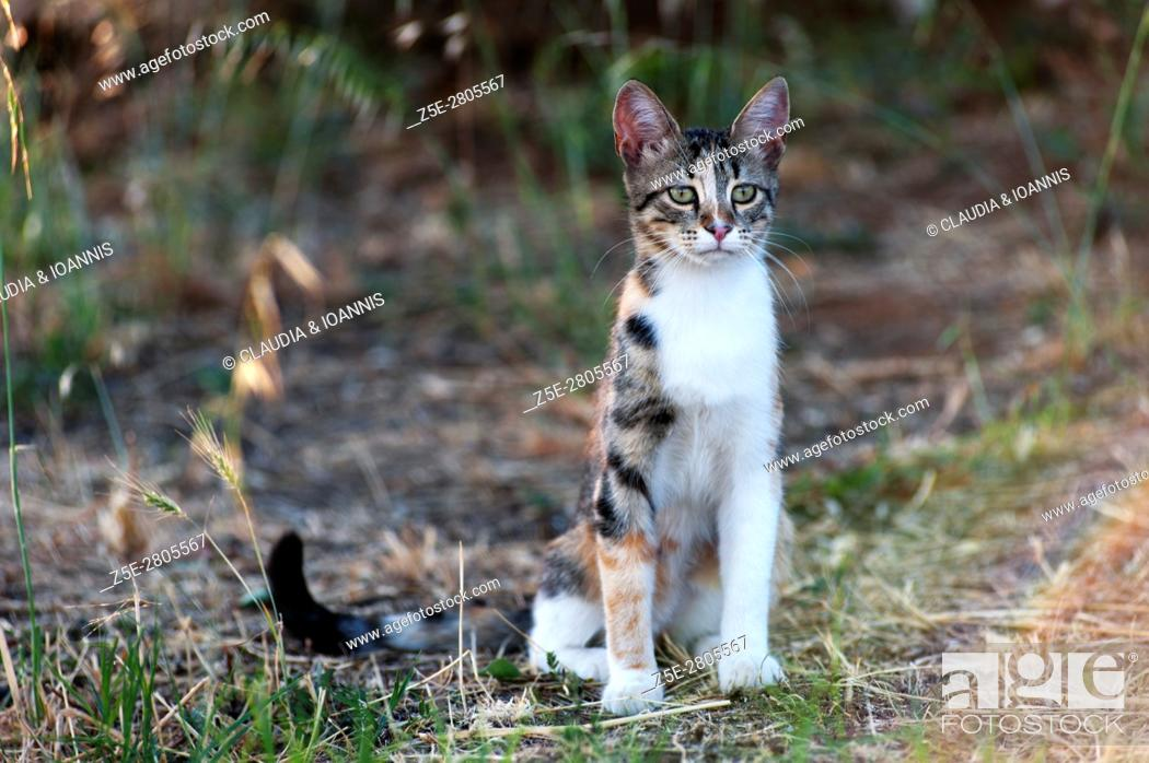 Stock Photo: Calico cat sitting outdoors and looking attentive.