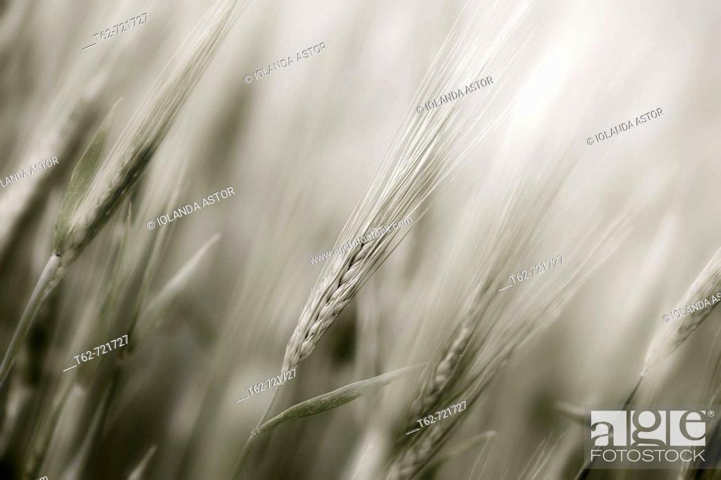 Stock Photo: Espigas de trigo en primavera.