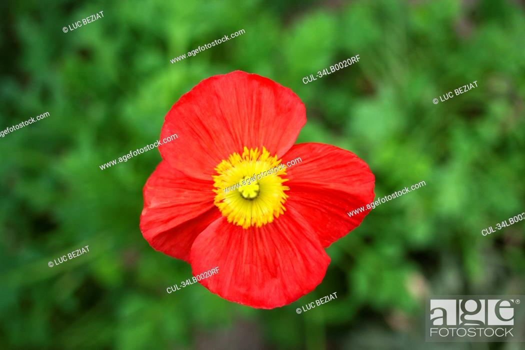 Stock Photo: Close up of poppy flower.