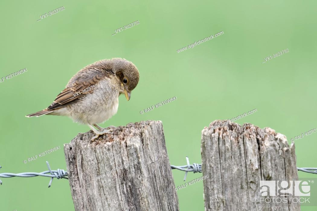 Stock Photo: Red-backed Shrike ( Lanius collurio ), young chick, fledgling, perched on a fence post, exploring its surrounding, looks cute and funny, wildlife, Europe.