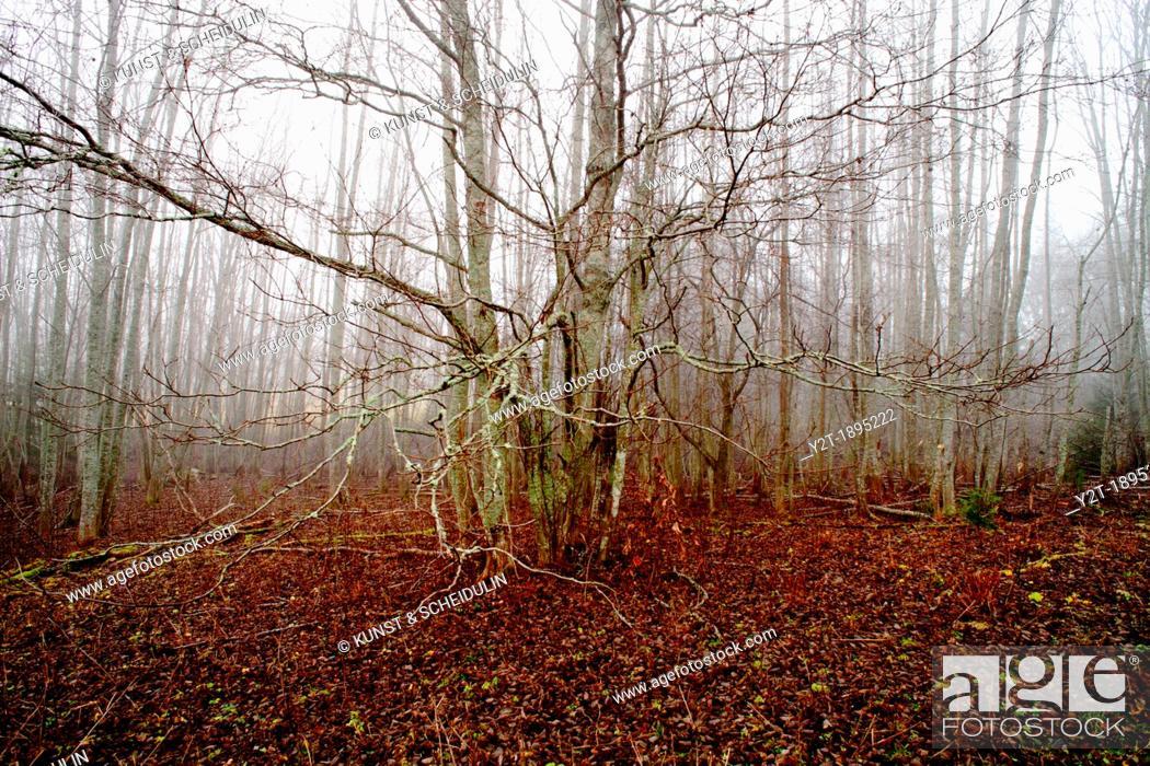 Stock Photo: Alder forest Alnus on a foggy autumn day. Vaesternorrland, Sweden, Scandinavia, Europe.