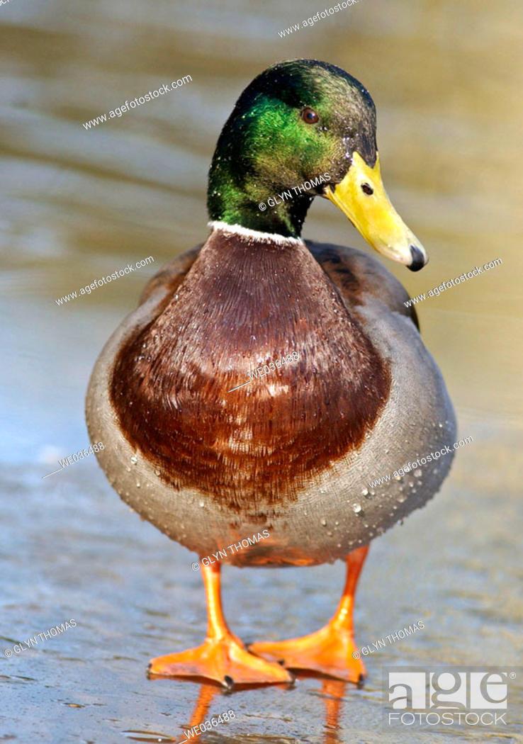 Stock Photo: Male mallard duck standing on a frozen pond.