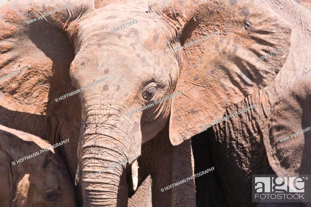 Stock Photo: A portrait of a young african elephant (Loxodonta africana) in Tansania, Africa.