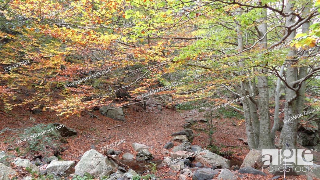 Stock Photo: Autumn.Beech tree forest (Fagus sylvatica). Catalonia, Spain.