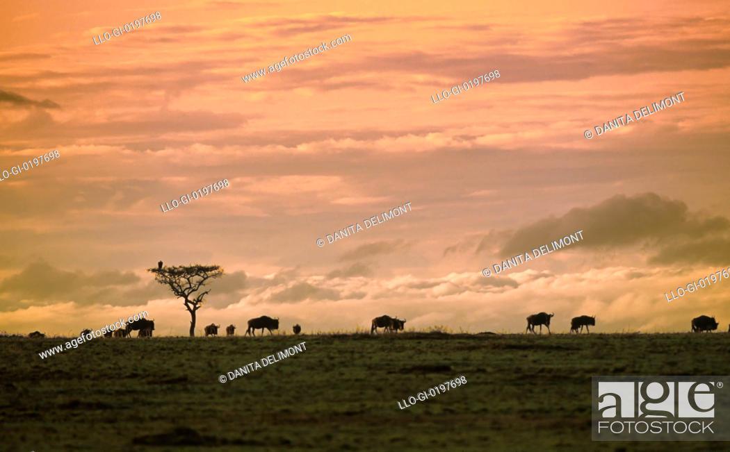 Stock Photo: Wildebeests at migrating dawn, Kenya.