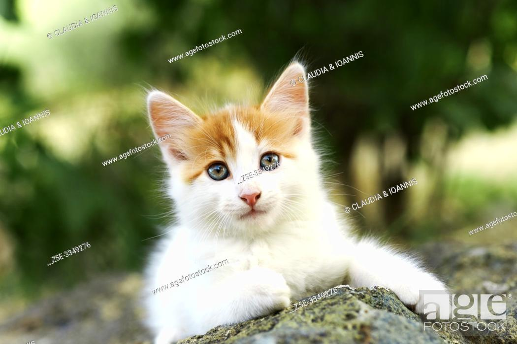 Stock Photo: Front view of a beautiful white and red kitten lying on a stone outdoors.