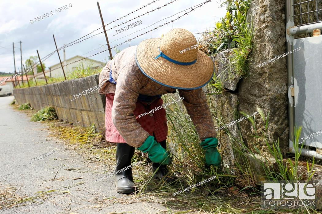 Stock Photo: A woman with hat clean and remove weeds wall of his estate in Palas de Rei, Lugo.