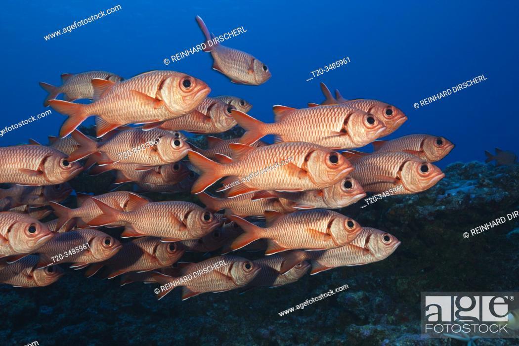 Imagen: Shoal of Blotcheye Soldierfish, Myripristis berndti, Fakarava, Tuamotu Archipel, French Polynesia.