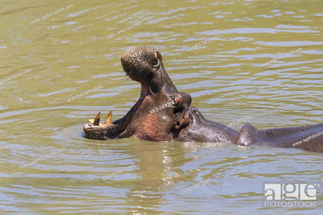 Photo de stock: Hippopotamus, Hippopatamus amphibius, in water, Masai Mara National Reserve, Kenya, Africa.