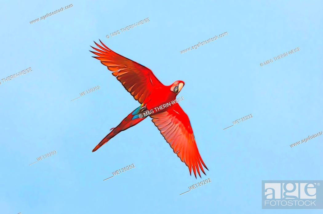 Stock Photo: Red-and-green Macaw (Ara chloropterus) in flight, Buraco das Araras, Mato Grosso do Sul, Brazil.