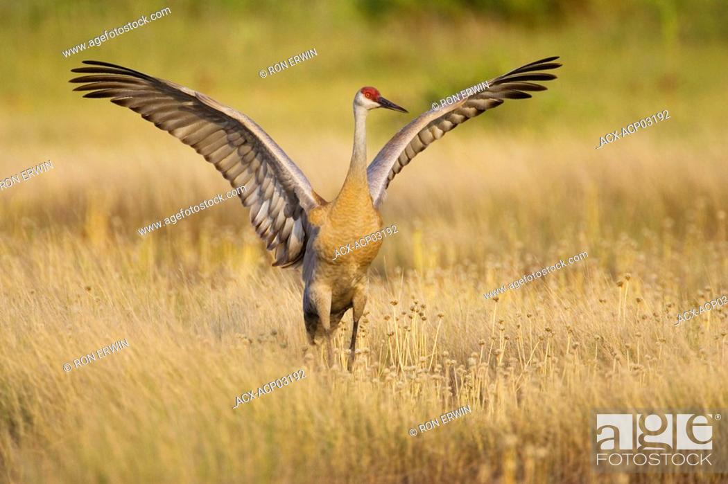Stock Photo: A Sandhill Crane Grus canadensis with its wings extended, Barrie Island, Manitoulin Island, Ontario, Canada.