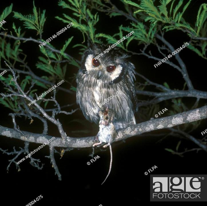 Stock Photo: White-faced Scops Owl Otus leucotis With mouse / Rhodesia.