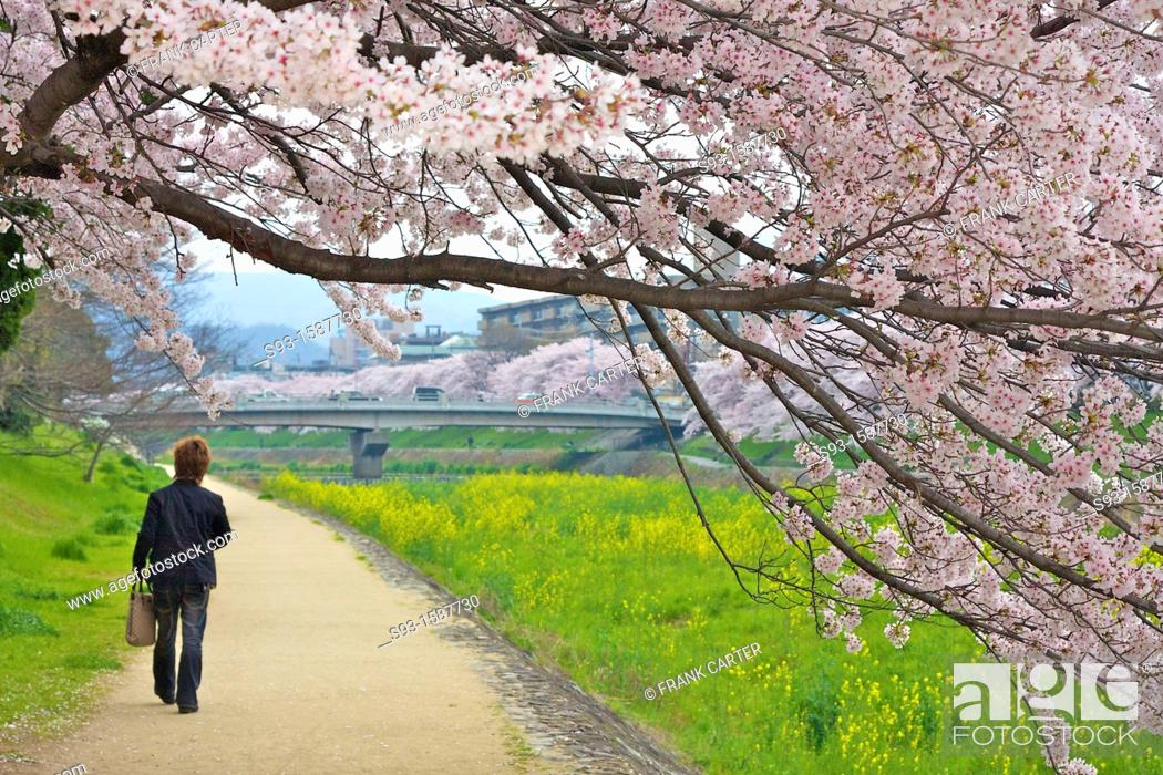 Stock Photo: Cherry blossom trees in full bloom hanging over a path beside the Takano river.