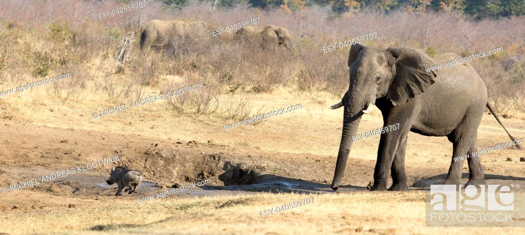 Stock Photo: Warthog chased away by an african elephant, waterhole - Namibia.