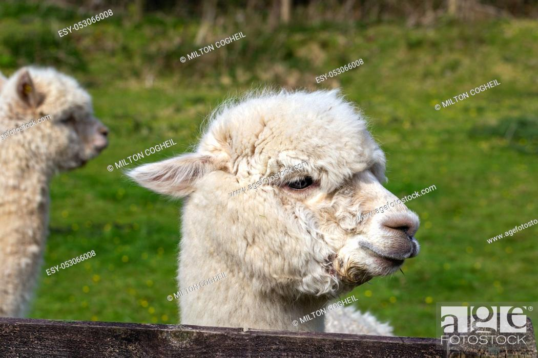 Stock Photo: A close up image of an Alpaca of Andean origin.