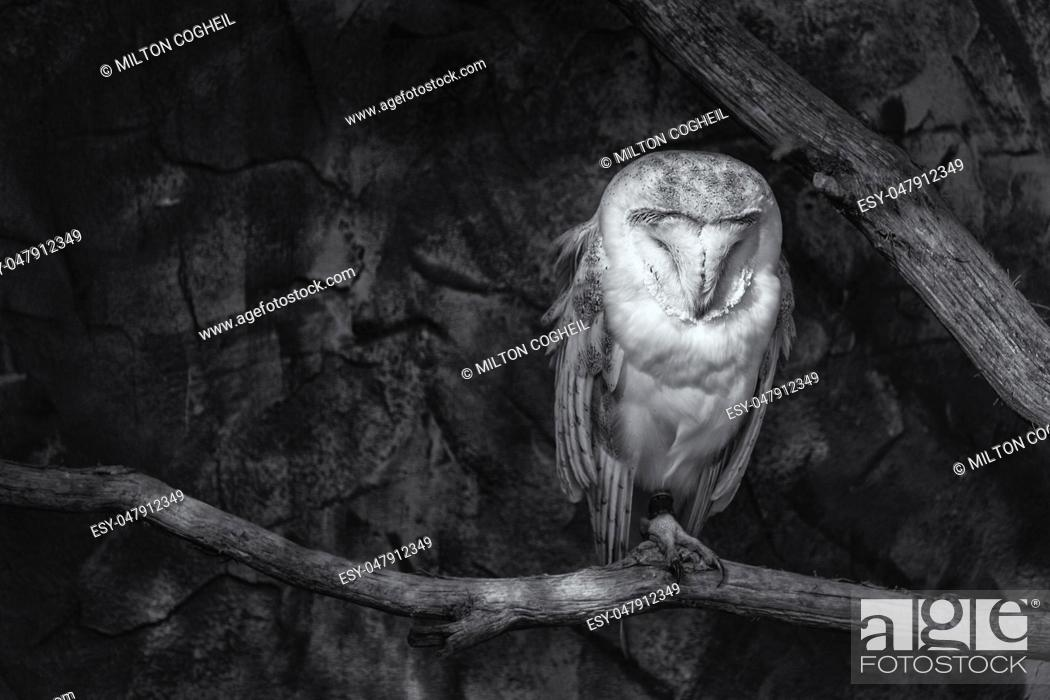 Stock Photo: Black and white image of a Barn owl (Tyto alba) sitting on a perch.