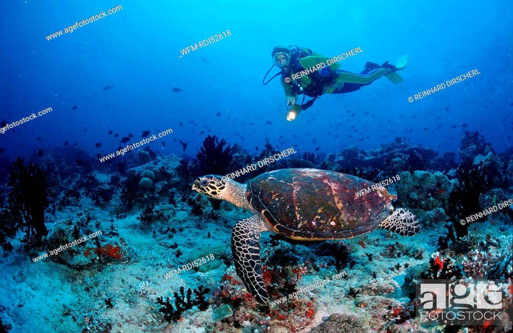 Imagen: Hawksbill turtle and scuba diver, Eretmochelys imbricata, Indian ocean Ari Atol Atoll, Maldives Islands.
