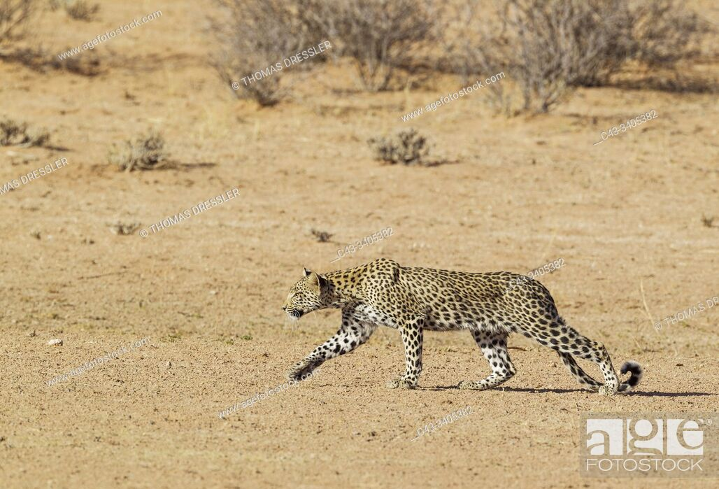 Stock Photo: Leopard (Panthera pardus). Young female. Stalking. Kalahari Desert, Kgalagadi Transfrontier Park, South Africa.