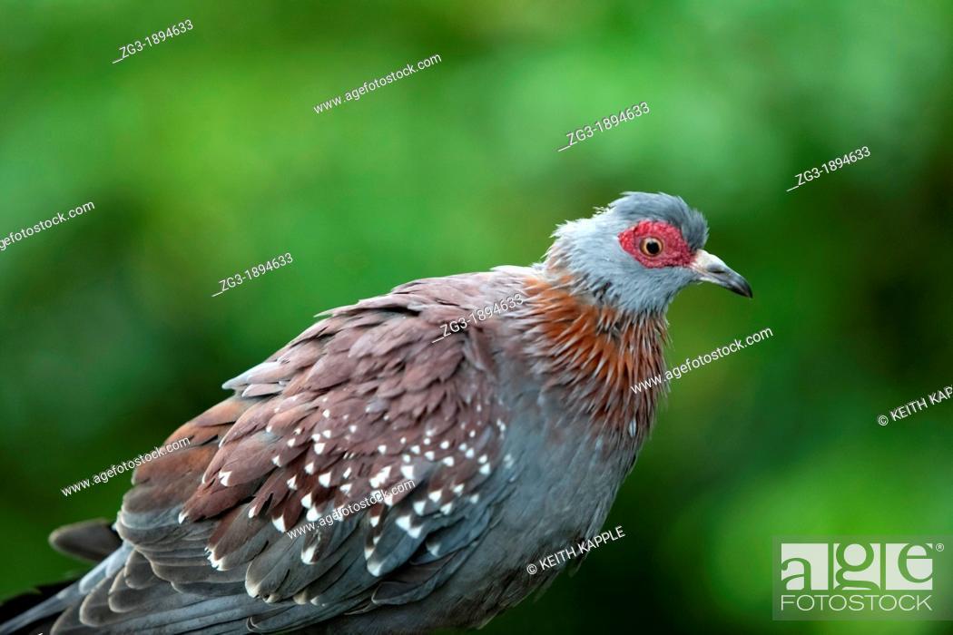 Stock Photo: AFRICAN SPECKLED PIGEON - Columba guinea, Moody Gardens Rain Forest, Galveston, Texas.